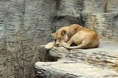 Lioness sleeping in the aviary zoo — Stock Photo