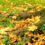 Fallen autumn maple leaves lying on the ground — Stock Photo #70310131