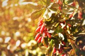Bright red barberry berries - in Latin Berberis- on the tree under the sunlight — Stockfoto