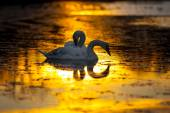 Two Swans swimming in the lake at sunset — Stock Photo