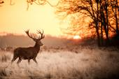 Red Deer dans le champ — Photo