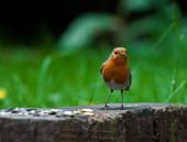 Pájaro naranja — Foto de Stock