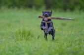 Dog retrieving a stick — Stock Photo