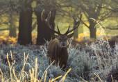 Red deer — Stock Photo