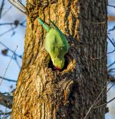 Green parrot — Stock Photo