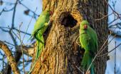 Green parrots — Stock Photo