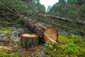 Felled a pine tree in the forest — Stock Photo