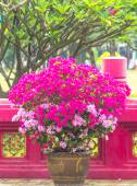 Bougainvillea in pot chaina  fence bacground. — Stock Photo