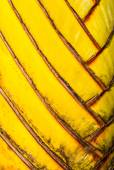 Petiole pattern of Traveller's Palm — Stock Photo