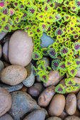 The flame nettle (coleus) leaves and pebbles background — Stock Photo