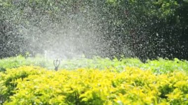 Sprinkler head watering in the garden, full HD. — ストックビデオ