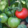 Bunch of organic tomatoes in the garden. Bio product — Stock Photo #53186597