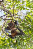 Flying foxes hanging and fighting on a tree. — Stock Photo