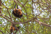 Flying foxes hanging on a tree. — Stock Photo