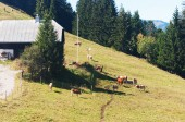 Cows grazing near the farm in the Alps , Switzerland — Foto Stock