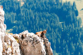 Wild mountain goat rests on a cliff in the Alps , Switzerland — Foto de Stock