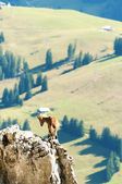 Wild mountain goat standing on a cliff in the Alps , Switzerland — Stok fotoğraf