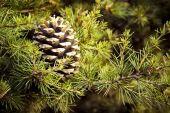 Christmas pine cone — Stock Photo