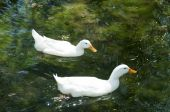 White ducks are swiming — Stock Photo