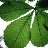 Horse-chestnut or Conker tree (Aesculus hippocastanum) leaf. — Stock Photo