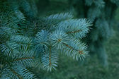 Green branches of pine — Stock Photo