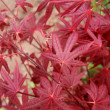 Detail of many red leafs of Acer Palmatum — Stock Photo #65268105