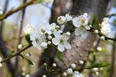 Plum blossom — Stock Photo