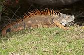Iguana with spiny back — Stock Photo