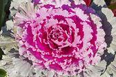 Decorative ornamental cabbage — Stock Photo