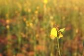 Sunn hemp flower on blur field background — Stock Photo