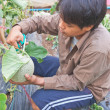 Harvesting the Japanese melon — Foto Stock #56452211
