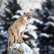 Portrait of a cougar, mountain lion, puma, panther, striking a p — Stock Photo #59991339
