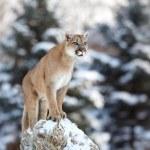 Cougar, mountain lion, puma, panther — Stock Photo #61883317