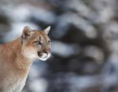 Cougar, mountain lion, puma, panther — Stock Photo