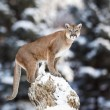 Portrait of a cougar, mountain lion, puma, panther, striking a p — Stock Photo #64548689