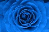 Rose flower — Stock Photo