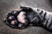 Tiger paw close-up — Stock Photo