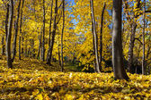 Maple Golden Forest — Stock Photo