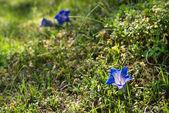 Blue gentian in alpine field — Stock Photo