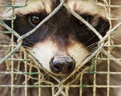 O olhar triste de uma raccon atrás da gaiola — Fotografia Stock