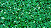 Clover,  backgrounds — Stock Photo