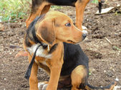 The Hound dog — Stock Photo