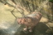 Hippo joyfully play with water shower in hot summer day — Stock Photo