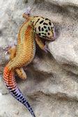Gecko Eublepharis macularius — Foto de Stock