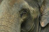 Aziatische olifant ogen zoekt — Stockfoto