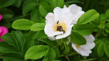 A bee gathers pollen in a Rugosa Rose — Stock Video