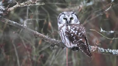 Boreal Owl, Aegolius funereus — Stock Video