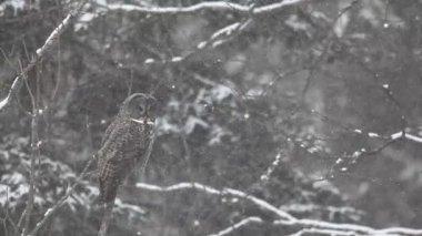 A Great Gray Owl, Strix nebulosa in a blizzard — Stock Video