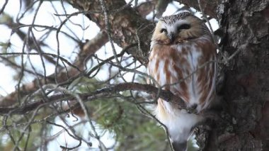 A perched Northern Saw Whet Owl, Aegolius acadicus — Stock Video