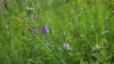 A blue Alfalfa blossom, Medicago sativa, in a field — Stock Video